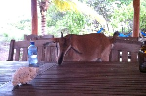 In a great little beach club on the island of Anageda, we met Cocoa the bar goat, she is partial to fries and tequila :)